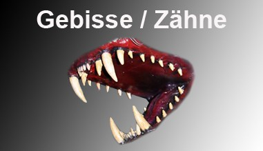 Gebisse / Zähne
